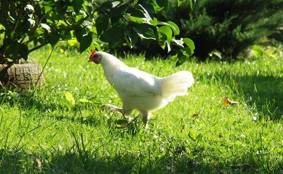 kippen veehouderij