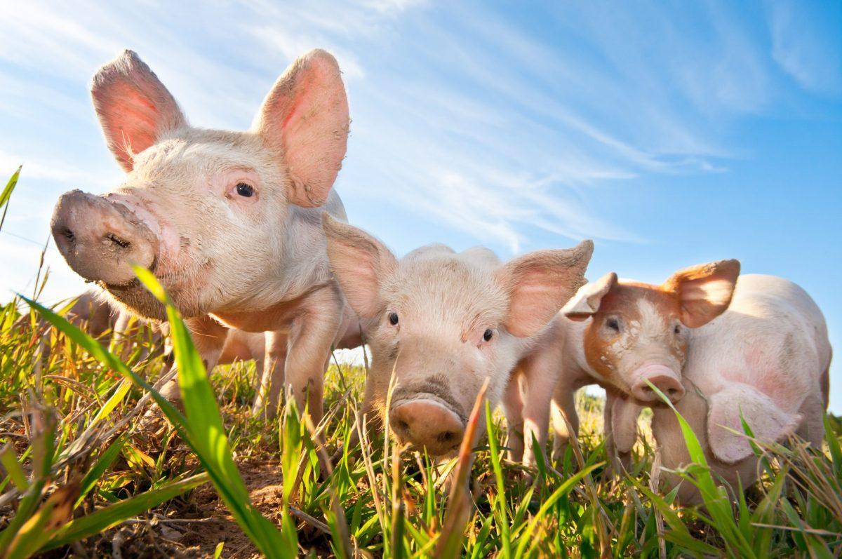 varkensrechten
