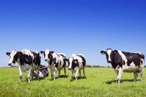 melkveehouderij fosfaat fosfaatrecht meststoffen